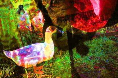 The Psychedelic Duck
